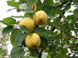 El fruto del membrillo