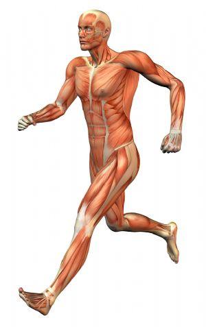 Más de 300 músculos se ejercitan a la vez cuando corremos